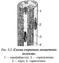 Мышечный ткань как мясной технологии